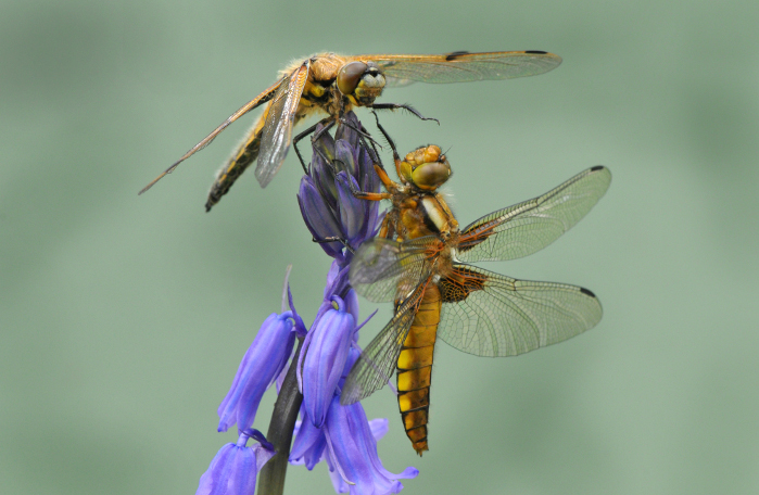Two four-spotted chaser dragonflies on bluebell flowers by Liz Pearson. Commended in the 2014 NIW Photography Competition Small is Beautiful category.