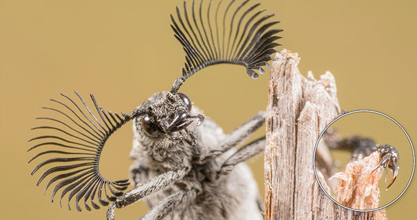 Male feather-horned beetle on a stick, with close-up of its claw, by Kerry-Ann van Eeden.  Specially Commended 2014 NIW Photography Competition Small is Beautiful category.