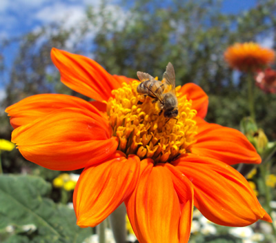 Honey Bee on Orange Cosmos