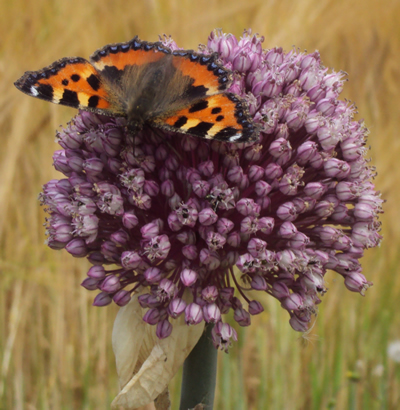 Tortoiseshell on Allium