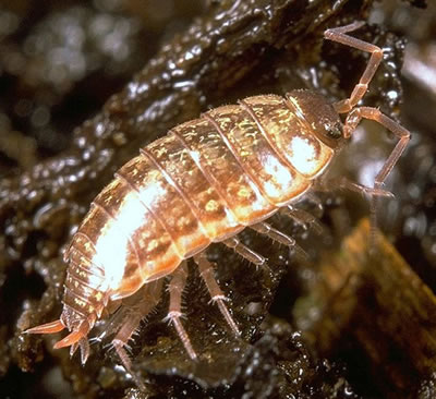 Not an insect - Woodlouse