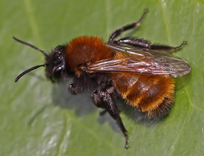 Close-up image of a Tawny Mining Bee, resting on a leaf with it's wings crossed over