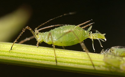 A close up image of a green aphid giving birth to live young
