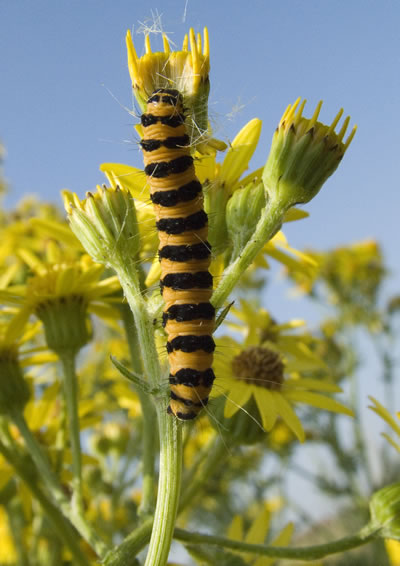 Brightly coloured yellow and black striped Cinnabar moth caterpillar clinging to the stem of a flower