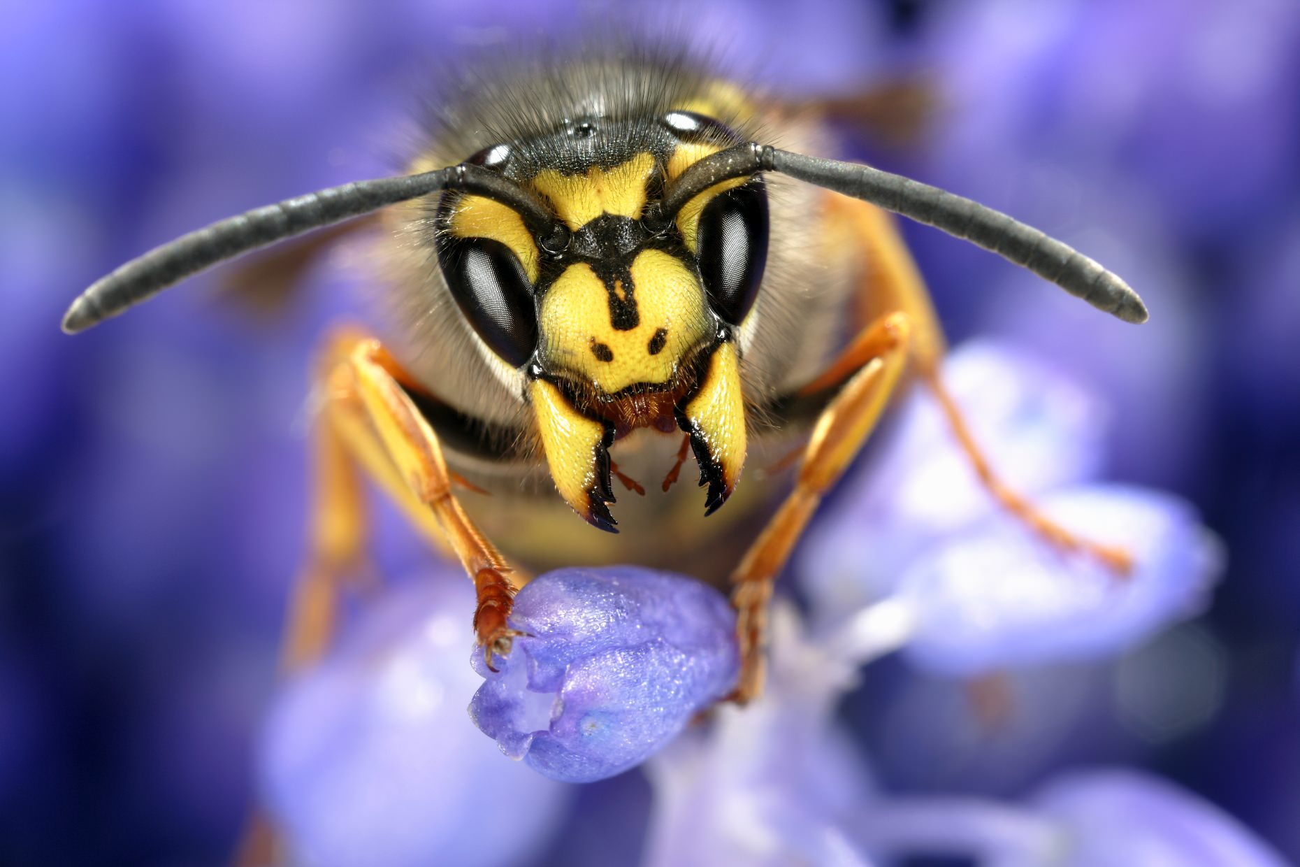 Queen common wasp, Vespula vulgaris, resting on grape hyacinth after waking