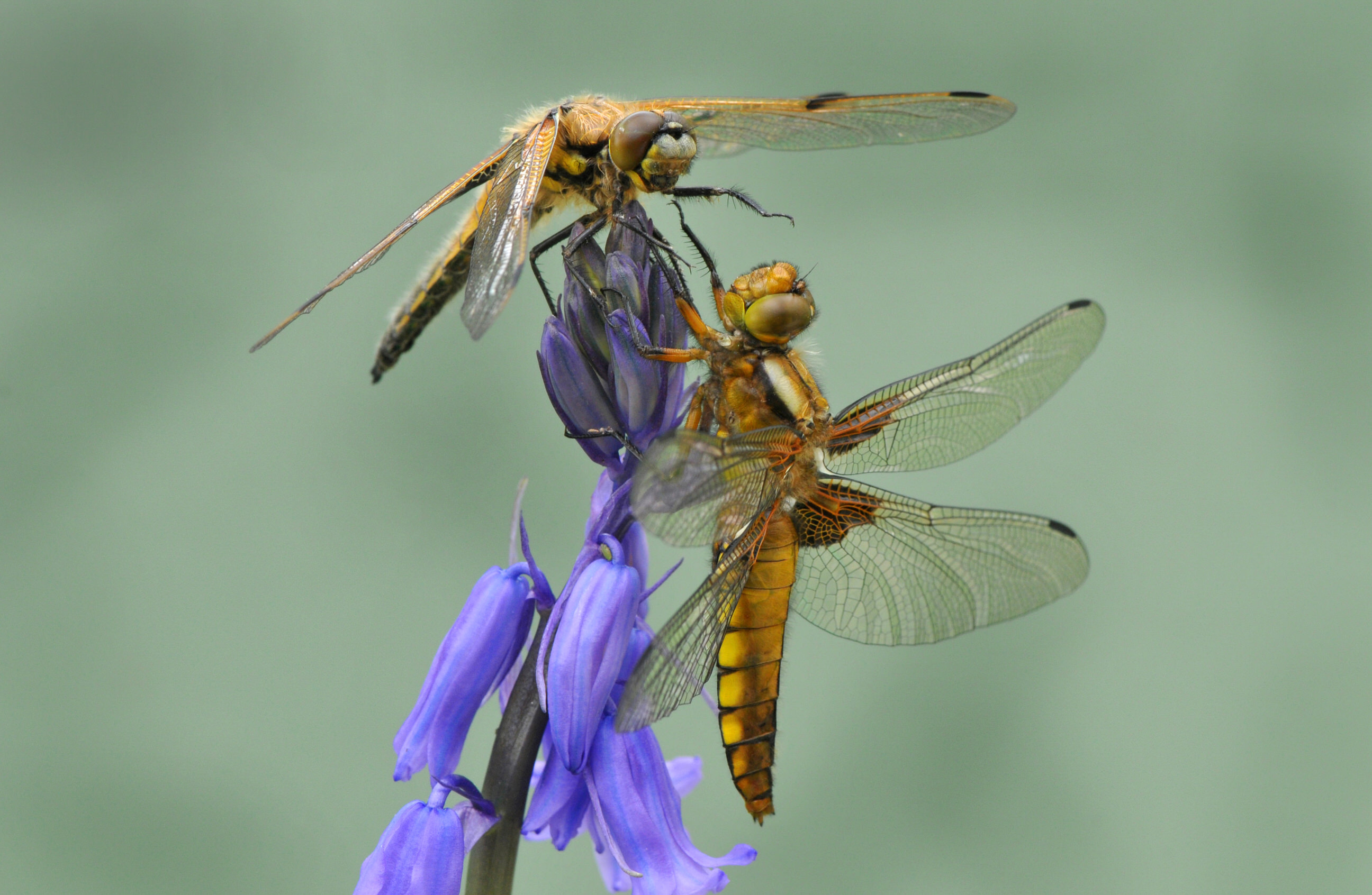 These two dragonflies of different chaser species were photographed on a (Spanish or hybrid) bluebell on a terrace in the photographer's garden, where they had emerged from a large garden pond.