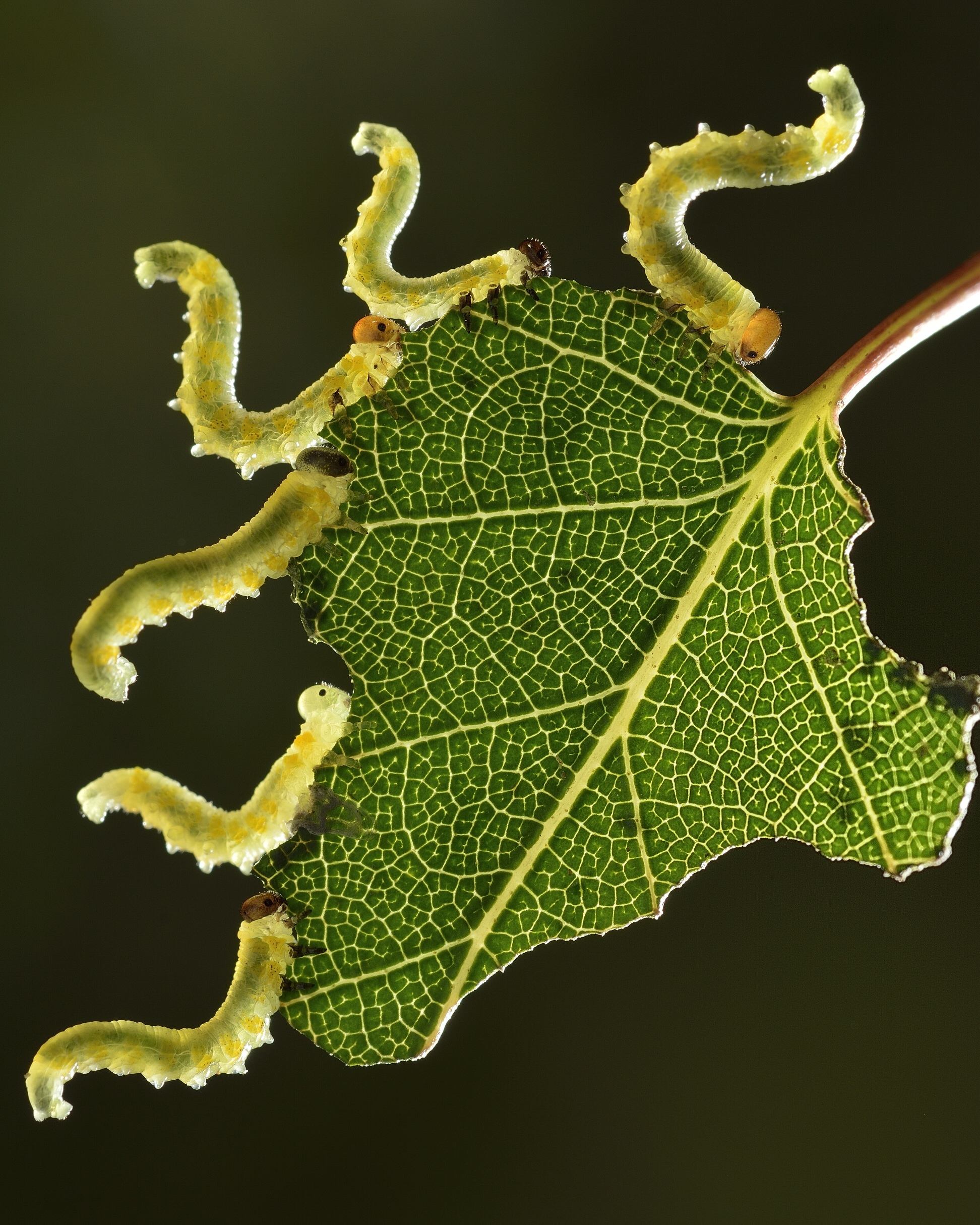 Sawflies eating a birch leaf