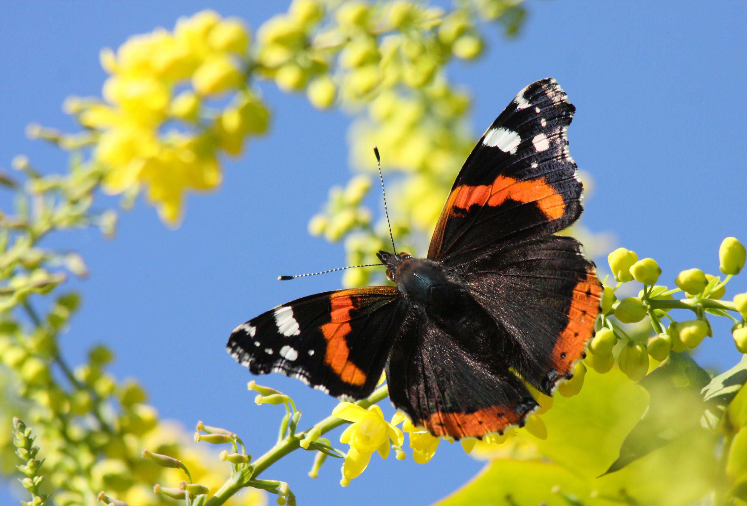 Red Admiral butterfly, Vanessa atalanta, on Mahonia