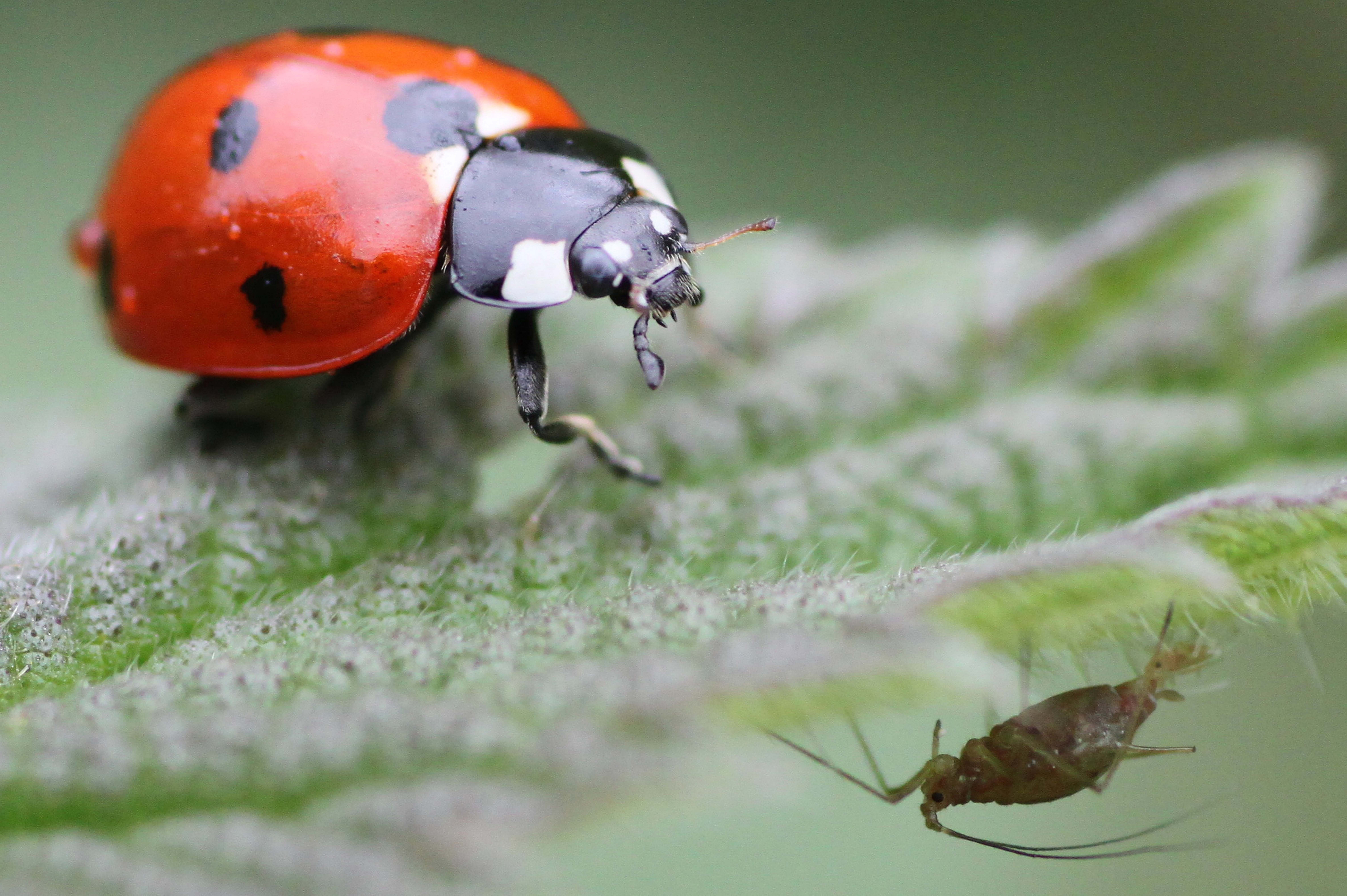 Seven spot ladybird, Coccinella 7-punctata, and aphid