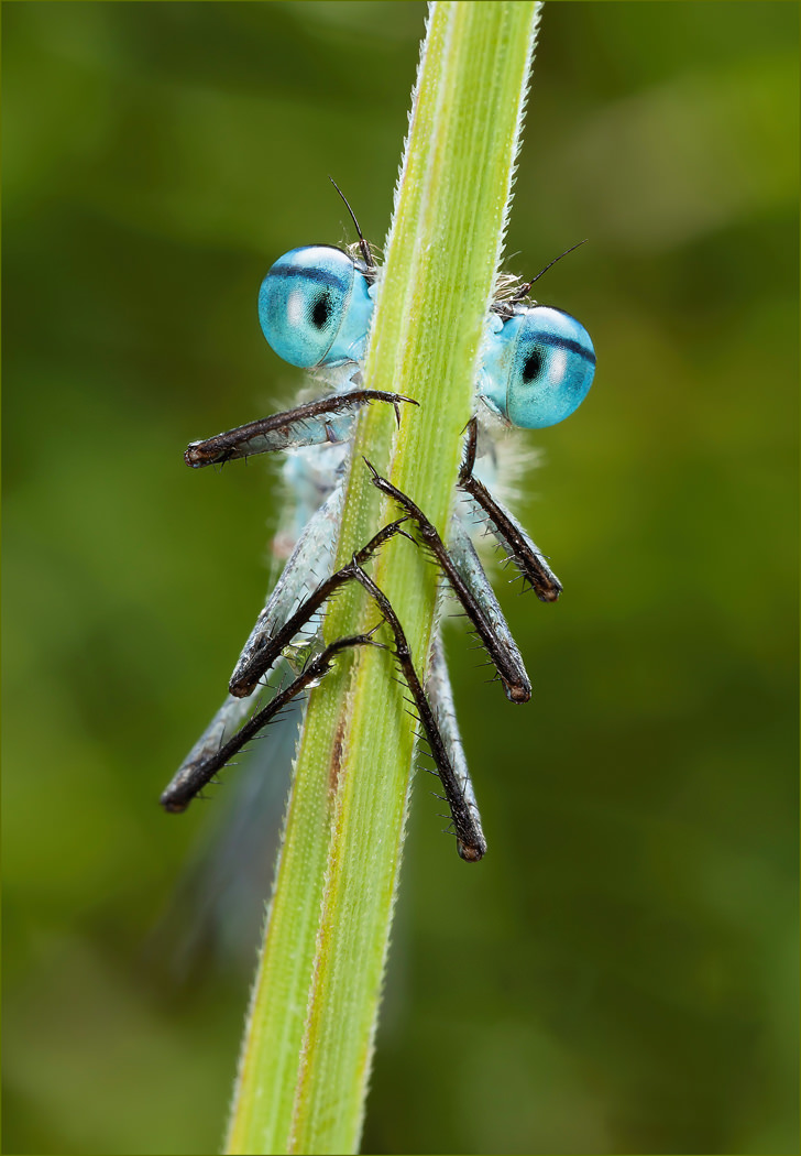 Male common blue damselfly, Enallagma cyathigerum