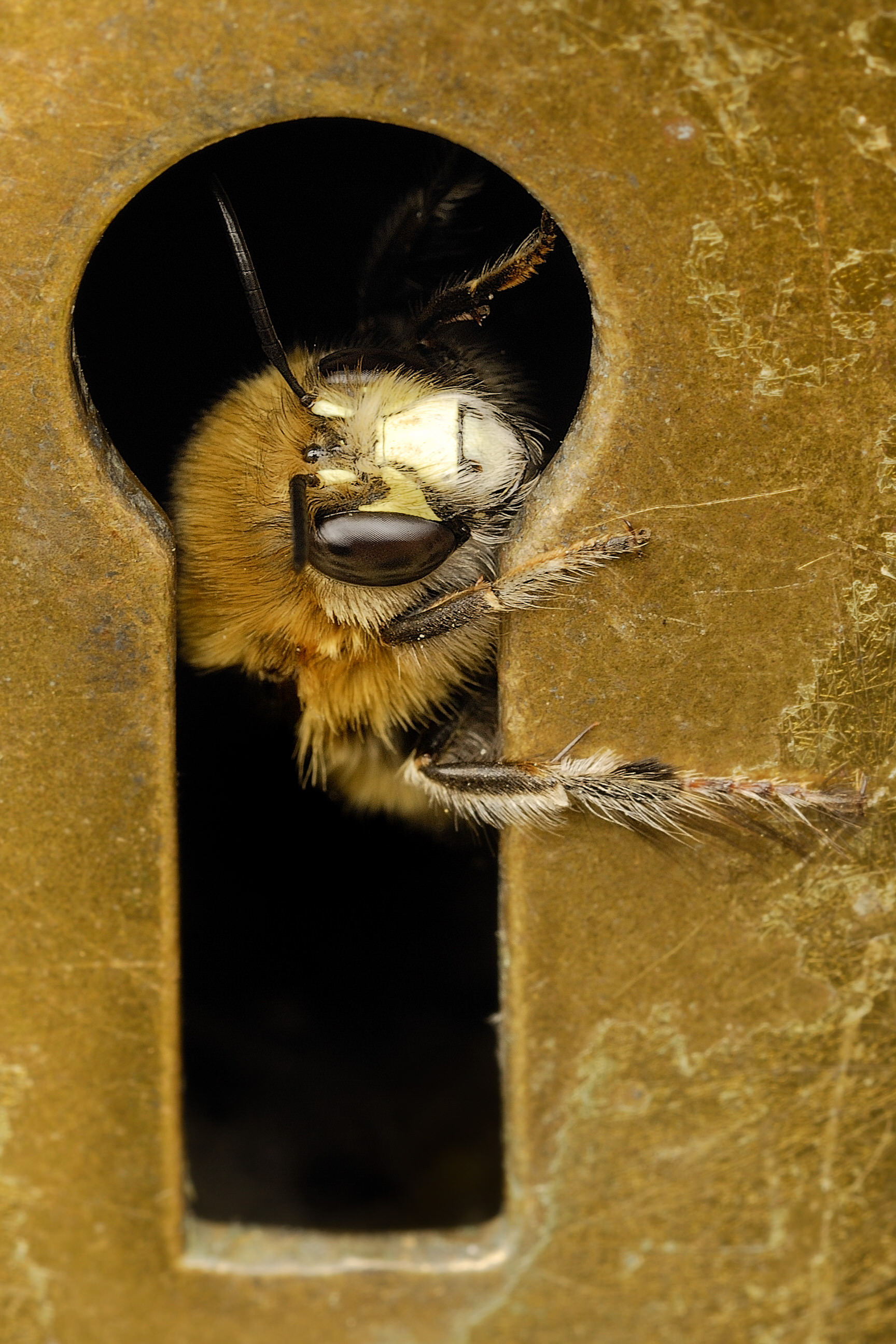 Hairy-footed flower bee, Anthophora plumipes, looking through the keyhole