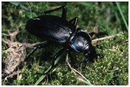 Violet ground beetle, Carabus violaceus