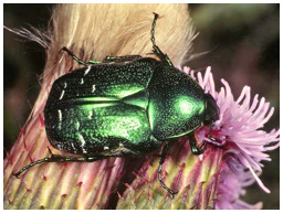 Rose chafer beetle, Cetonia aurata