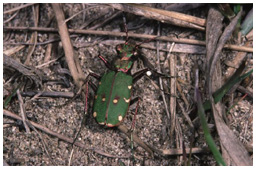 Green tiger beetle, Cicindela campestris