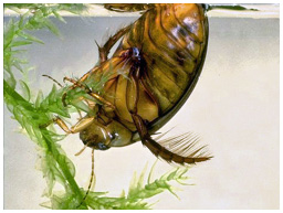 Spangled diving beetle, Graphoderus zonatus
