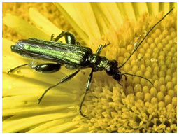 False oil beetle, Oedemera nobilis
