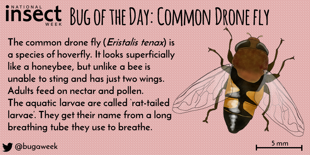 Bug of the Day - Common Drone Fly