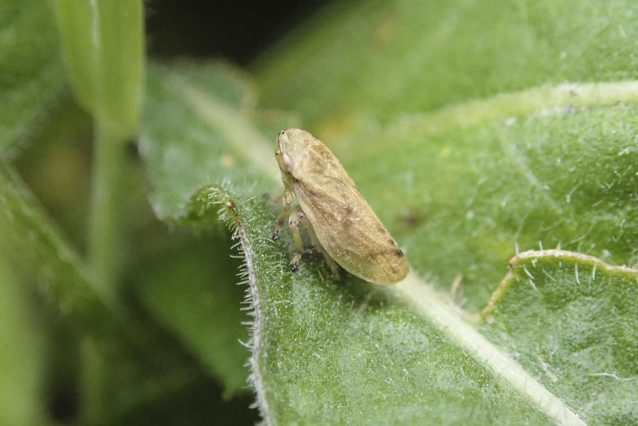 Meadow spittlebug on leaf