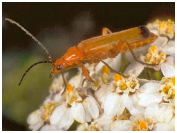 Common red soldier beetle, Rhagonycha fulva