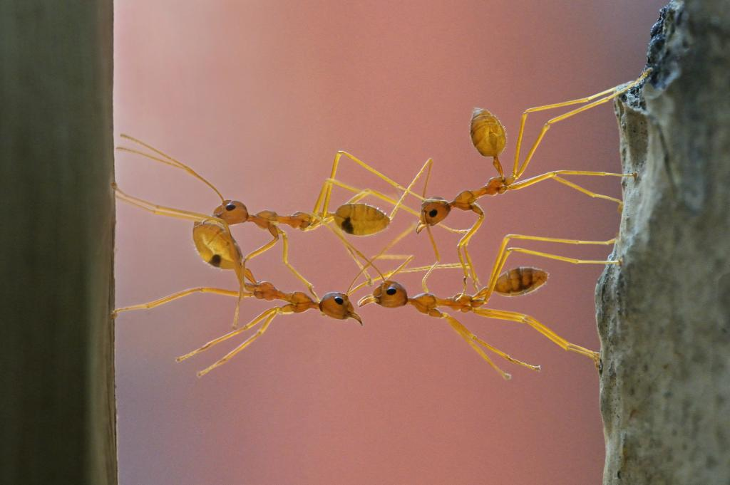 Highly Commended - Karunakaran Parameswaran Pillai (India) Bridging weaver ants
