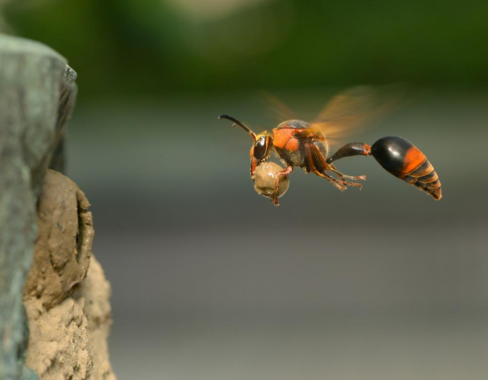 2nd Prize – Wen-Chi Yeh Potter wasp, Oreumenes decoratus, returning to her nest