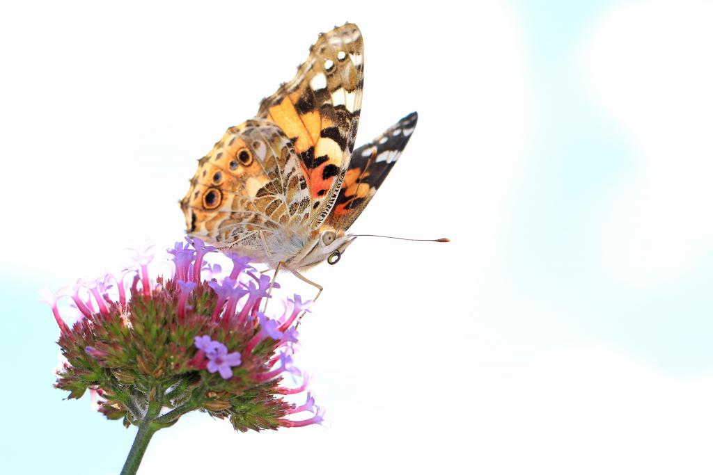 Commended – Denise Bishop Painted Lady