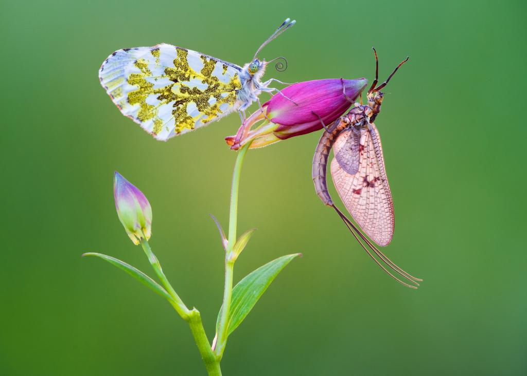 1st Prize – Petar Sabol Orange tip butterfly and mayfly sharing