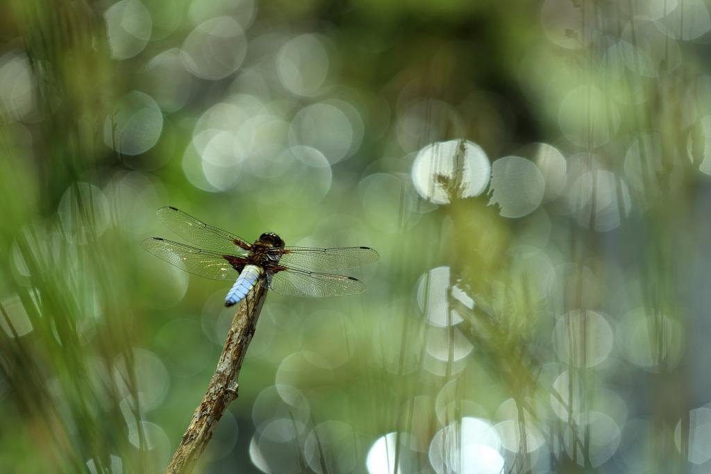 Specially Commended – Simon Carder Water reflections through greenery. Broad Bodied Chaser (Libellula depressa)