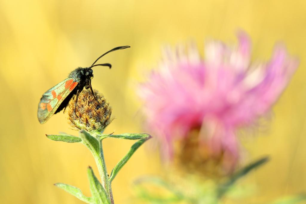 Commended – Simon Carder Six-spot burnet and knapweed at dawn