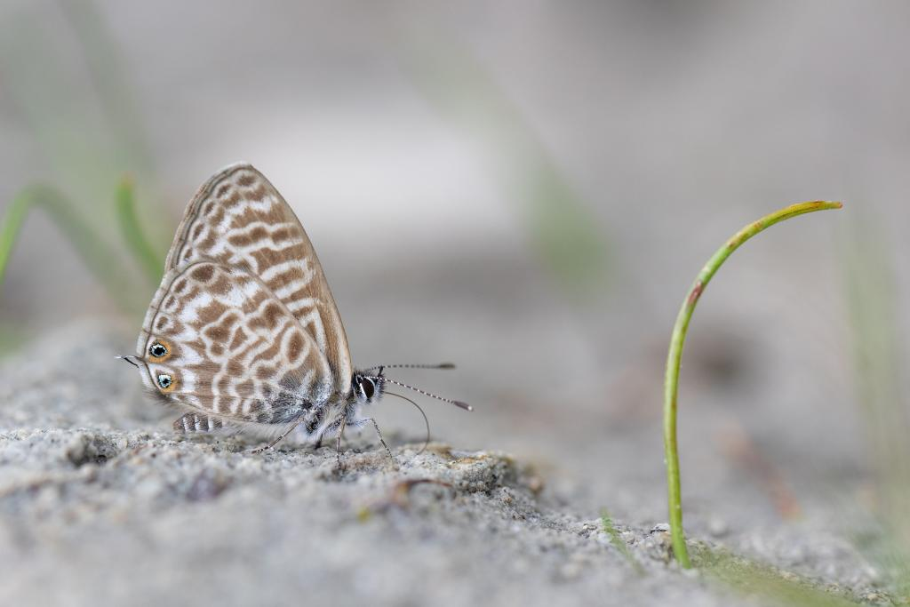 Specially Commended – Alex Perry Lang's Short-tailed Blue (Leptotes pirithous)