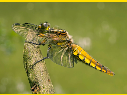 <p>Broad-bodied chaser dragonfly, <em>Libellula depressa</em>, Highly Commended 2006 NIW Photography Competition British insect category</p>