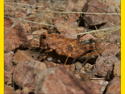Namibian Grasshopper, Commended 2006 NIW Photography Competition foreign insect category