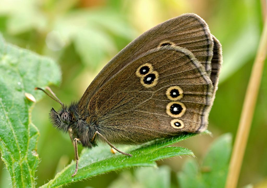 <p>Ringlet, Second Prize 2008 NIW Photography Competition adult category</p>
