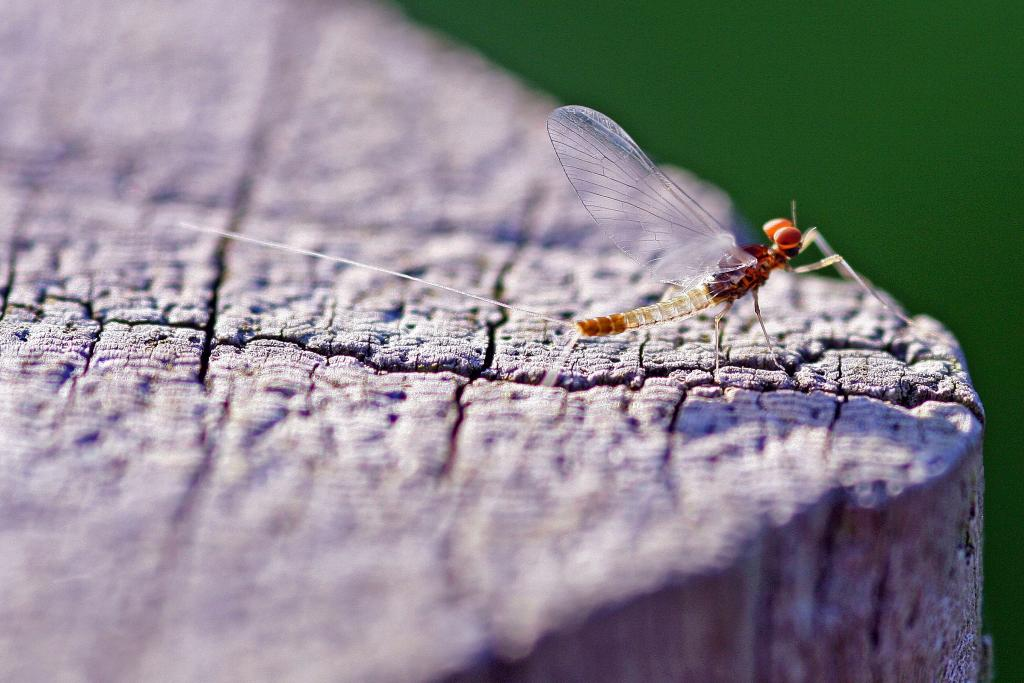 <p>Translucent in the sunshine, a mayfly on a fence post, Commended 2008 NIW Photography Competition riverfly category</p>