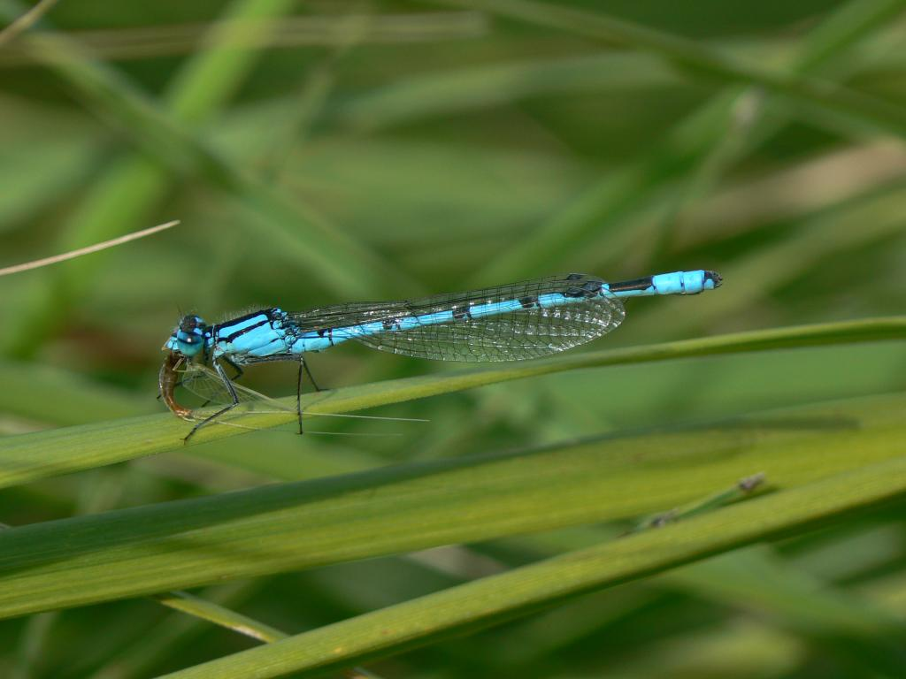Mayfly meal: common blue damselfly with lunch, Commended 2010 NIW Photography Competition riverfly category