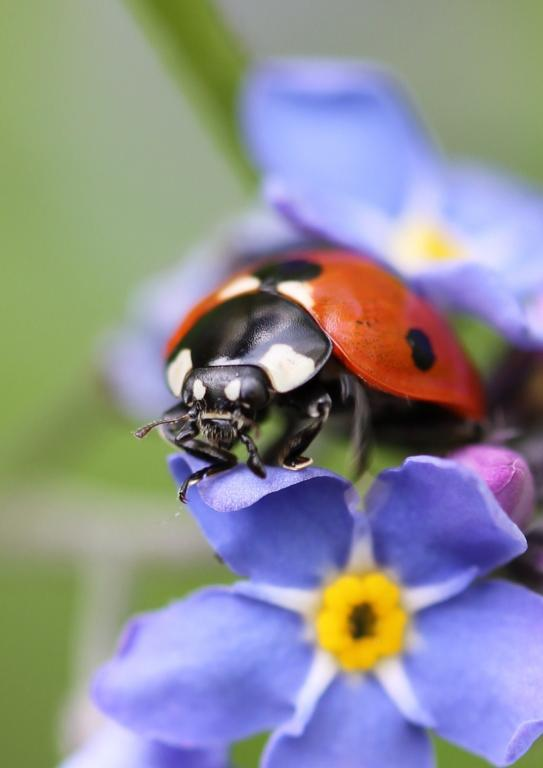 Ladybird on flower, First prize 2012 NIW Photography Competition under 18 category