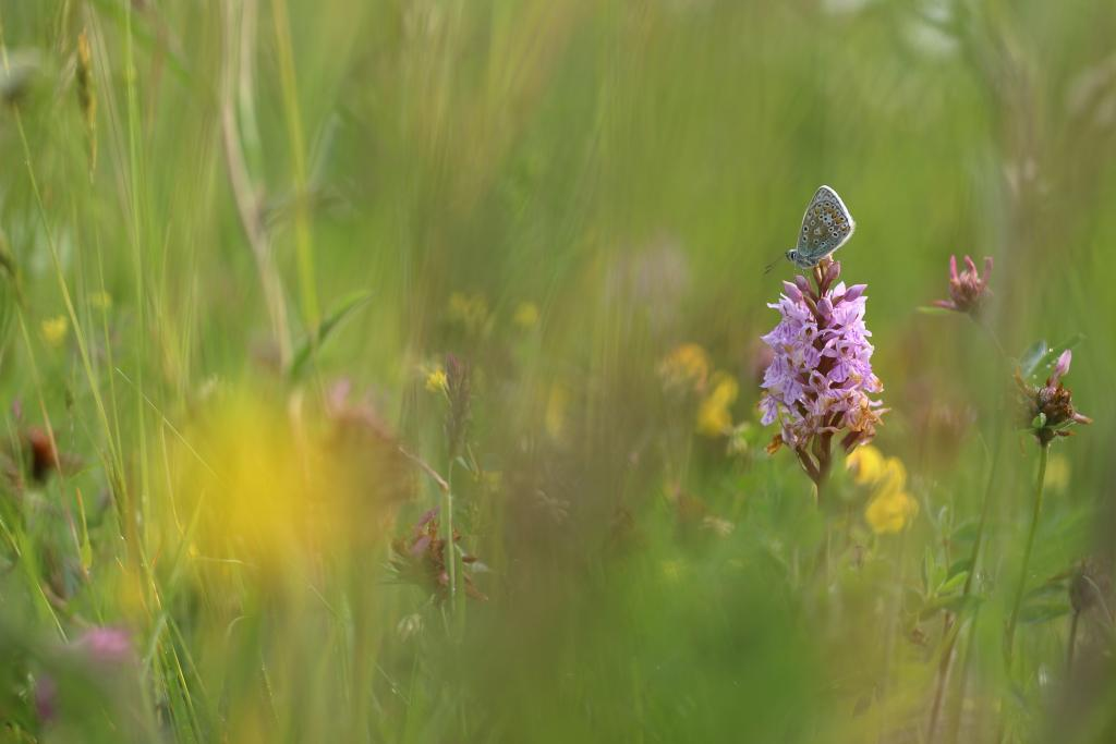Commended - Simon Carder (UK) Butterfly meadow