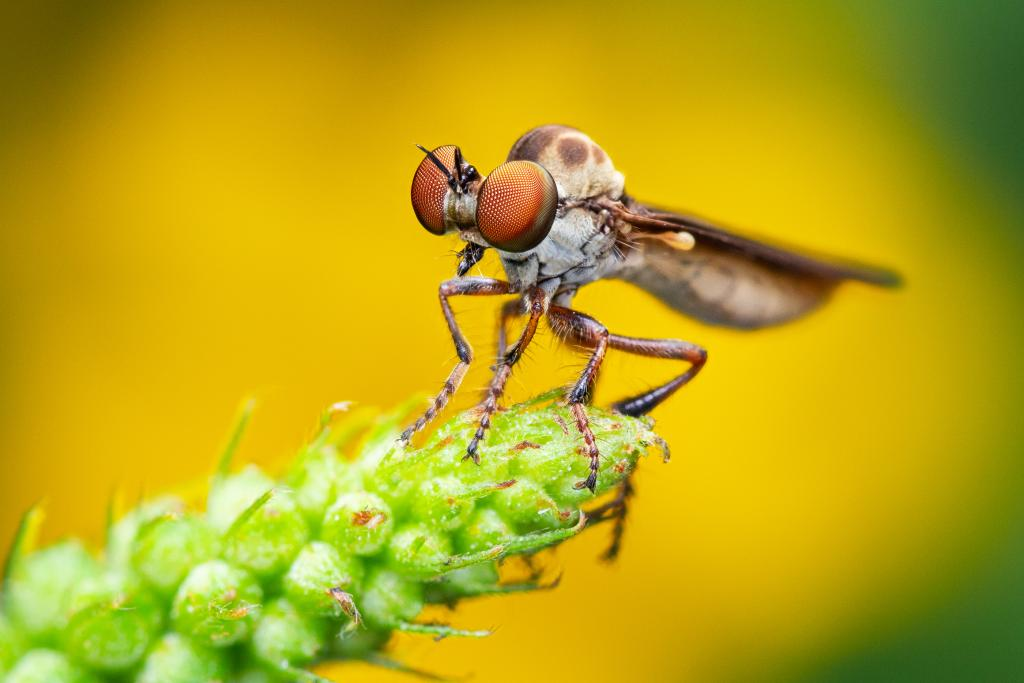 Specially Commended - Andrew Murray (USA) Gnat ogre robber fly