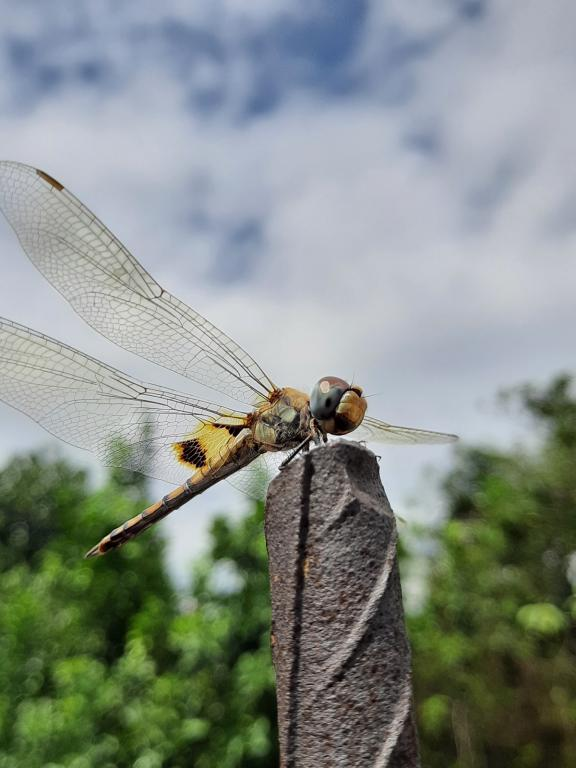 Specially Commended -Sruthi Parupudi (India) Common chaser dragonfly