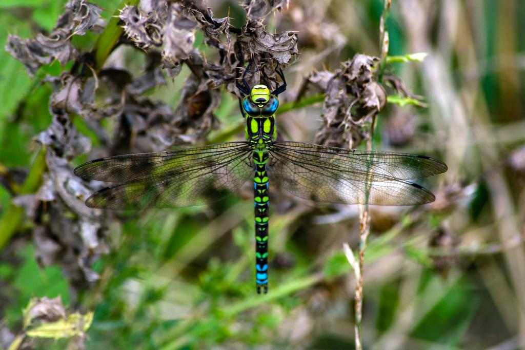Highly Commended -James Murphy (UK) Southern Hawker Aeshna cyanea