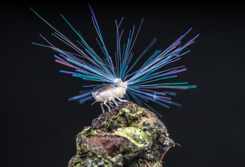 Specially Commended – Wexiang Lee Planthopper nymph with the 'fibre optic' tail