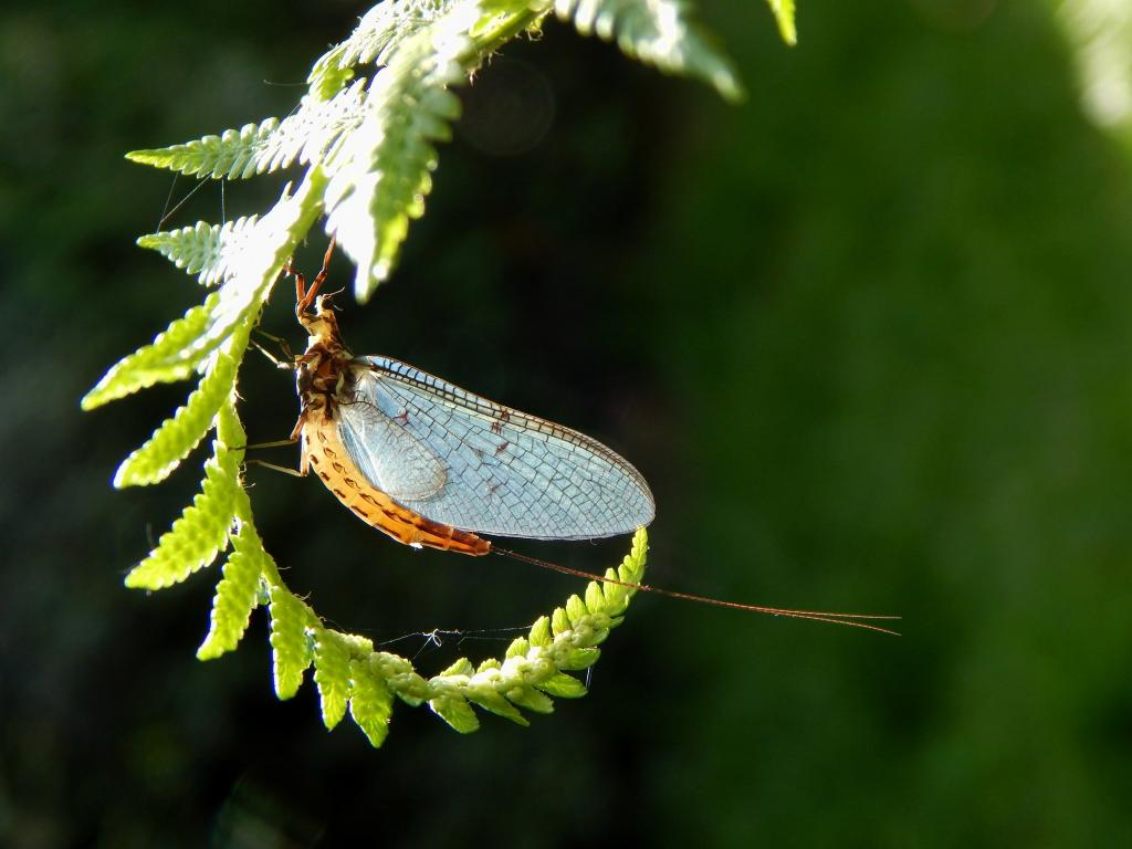 1st Prize - Zach Haynes Mayfly on an unfurled fern frond