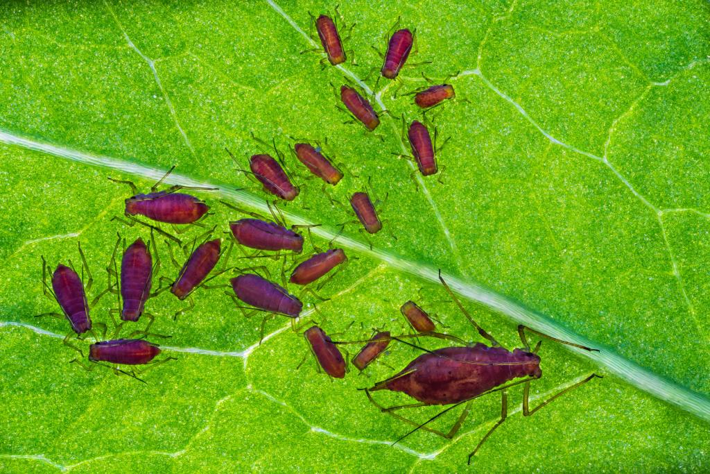 2nd Place - Petar Sabol (Croatia) Aphid family