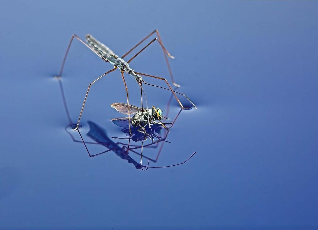 <p>Water Measurer with fly as prey, First Prize 2006 NIW Photography Competition British Insect category</p>
