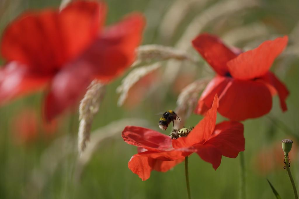 <p>Bumblebee &amp; poppies, <em>Bombus terrestris</em>, Wiltshire, UK, Second Prize 2006 NIW Photography Competition British insect category</p>