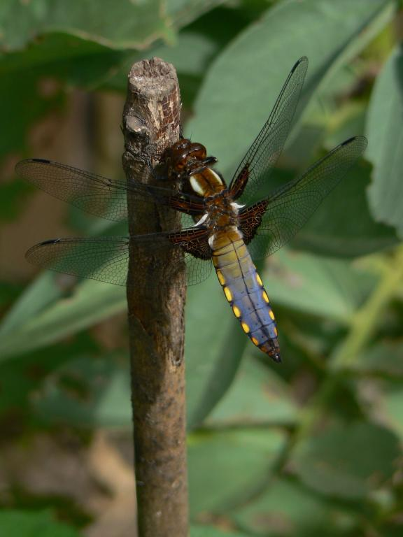 <p>Broad-bodied chaser dragonfly, <em>Libellula depressa</em>, in the broad bean patch, Commended 2006 NIW Photography Competition British insect category</p>