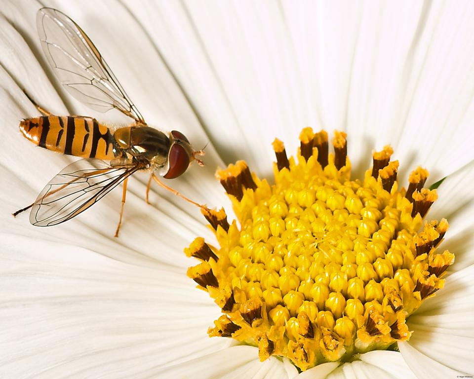 <p>Hover fly, Commended 2006 NIW Photography Competition British insect category</p>