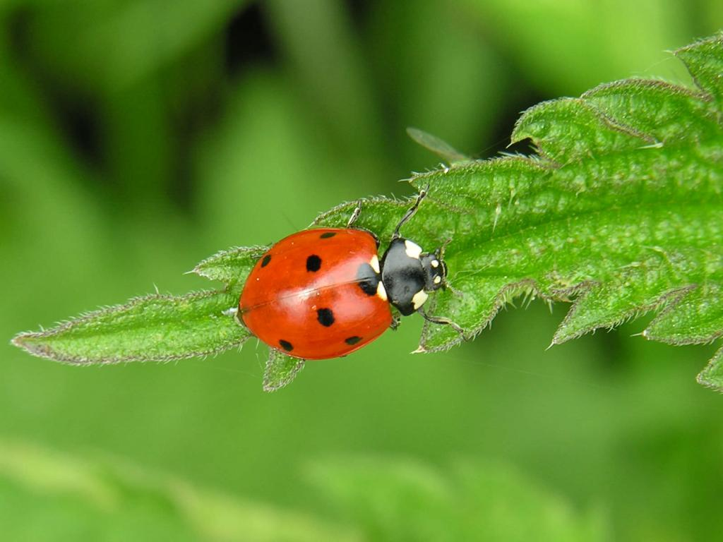<p>Seven spot ladybird on nettle, Commended 2006 NIW Photography Competition British insect category</p>
