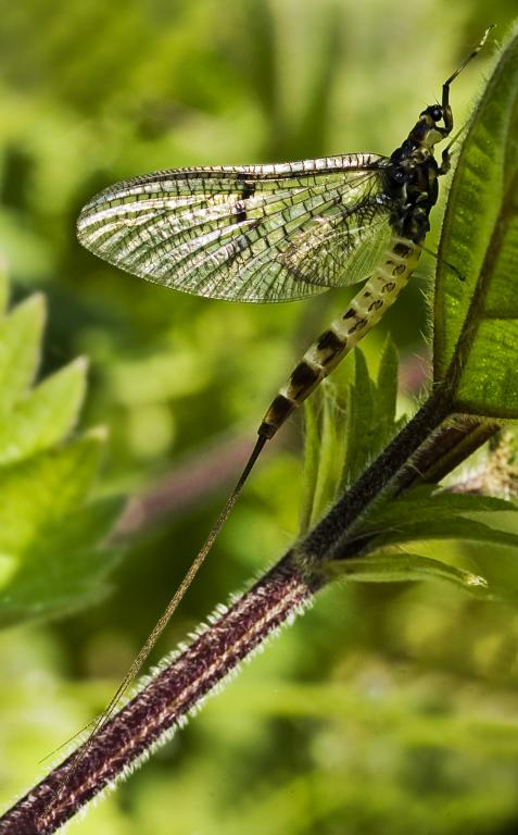 Mayfly on nettle, Highly Commended in 2006 NIW Photography Competition British insect category