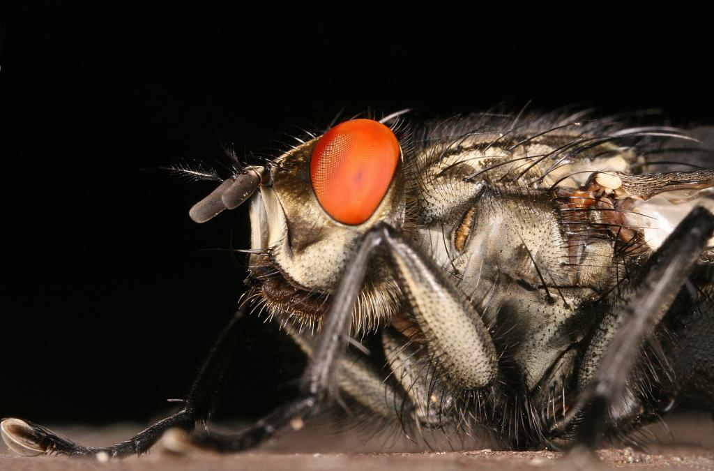 Flesh fly portrait, Commended 2006 NIW Photography Competition British insect category